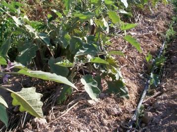 verduras-ecologicas-de-otono-100_3494