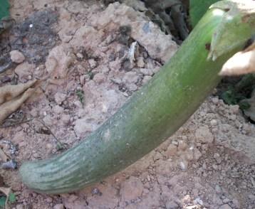 verduras-ecologicas-de-otono-bacarot-granja-masphael-100_3648