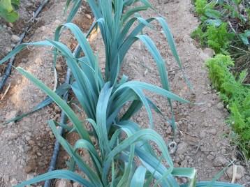 verduras-ecologicas-de-otono-bacarot-granja-masphael-100_3685
