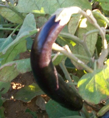 verduras-ecologicas-de-otono-bacarot-granja-masphael-100_3713