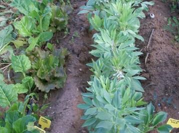 verduras-ecologicas-de-otono-bacarot-alicante-100_3765