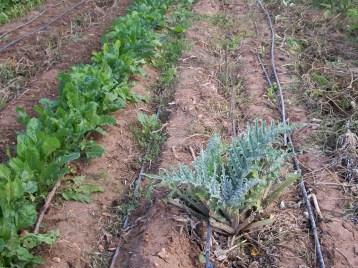 verduras-ecologicas-de-otono-bacarot-alicante-100_3769