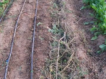 verduras-ecologicas-de-otono-bacarot-alicante-100_3771