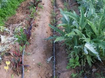 verduras-ecologicas-de-otono-bacarot-alicante-100_3777-2