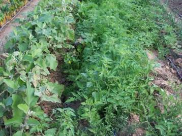 verduras-ecologicas-de-otono-bacarot-alicante-100_3784