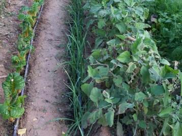 verduras-ecologicas-de-otono-bacarot-alicante-100_3785-2