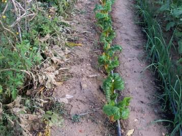 verduras-ecologicas-de-otono-bacarot-alicante-100_3786