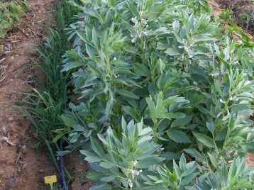 verduras-ecologicas-de-otono-bacarot-alicante-100_3795-2