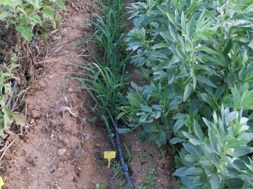 verduras-ecologicas-de-otono-bacarot-alicante-100_3796-2