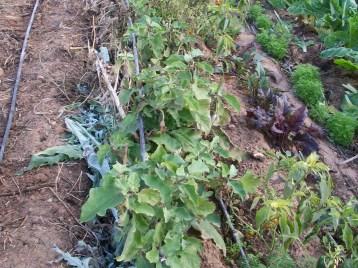 verduras-ecologicas-de-otono-bacarot-alicante-100_3803-2