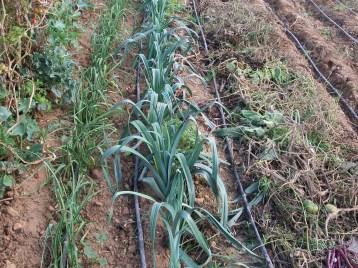 verduras-ecologicas-de-otono-bacarot-alicante-100_3807