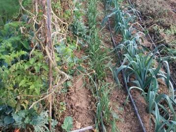 verduras-ecologicas-de-otono-bacarot-alicante-100_3808-2