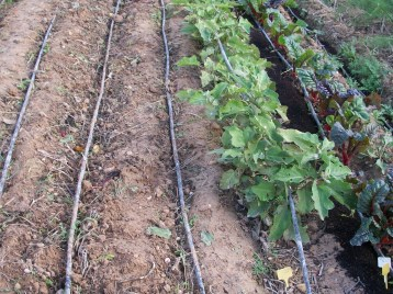 verduras-ecologicas-de-otono-bacarot-alicante-100_3812