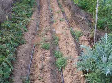 verduras-ecologicas-de-otono-bacarot-alicante-100_3814