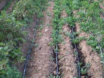 verduras-ecologicas-de-otono-bacarot-alicante-100_3818-2