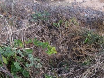 verduras-ecologicas-de-otono-bacarot-alicante-100_3826