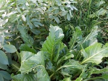 verduras-ecologicas-de-otono-bacarot-alicante-100_3829-2