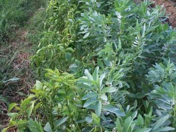 verduras-ecologicas-de-otono-bacarot-alicante-100_3831