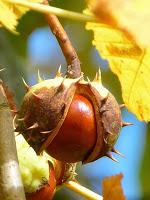 chestnut-196577_640