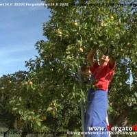 Chiacchierando sotto l'albero della Mela Rosa Romana dell'Appennino durante la raccolta a Riola