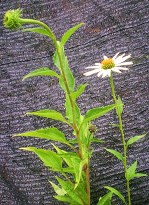 equinácea-angustifolia-web