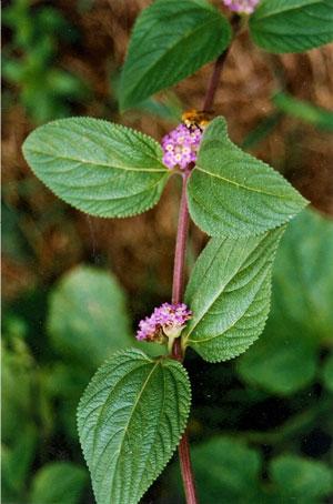 Salvia-de-Uruguay-web