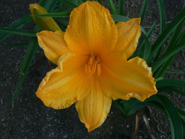 Vermont Flower Farm Daylilies D G
