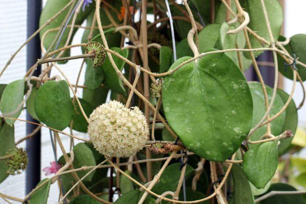 Hoya latifolia 061315c