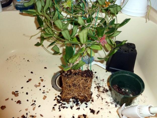 Hoya rotundifolia in Need of a Re-Pot!