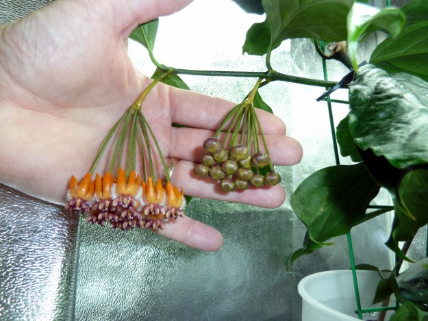 Hoya praetorii In the Grow Tent January 30, 2013