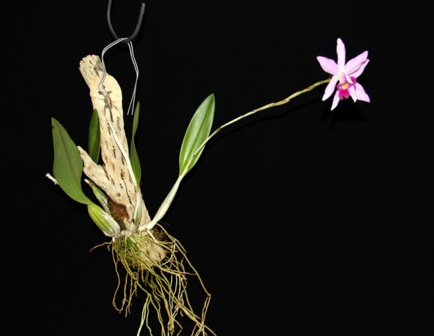 Mounted Orchid