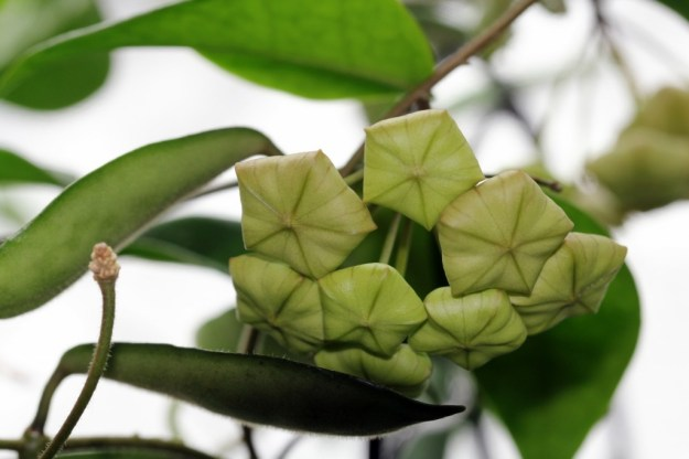 Hoya megalantha Buds From March 4, 2013