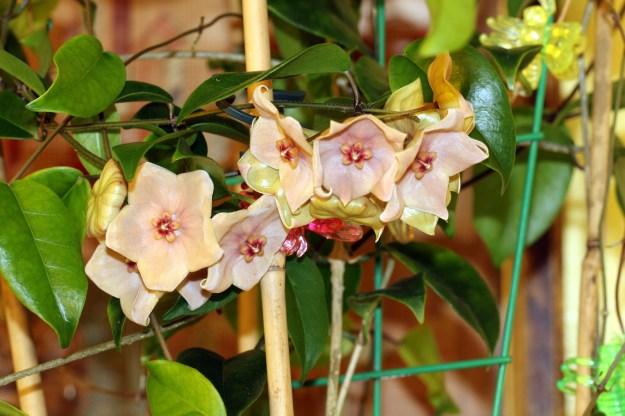 Hoya megalantha showing flowers and leaves.