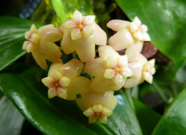 Hoya samoensis Blooming March 2, 2013