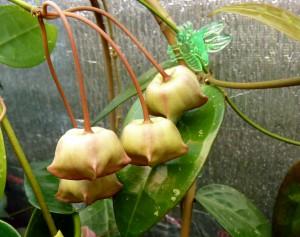 Hoya cv. Kamuki Buds - May 2013