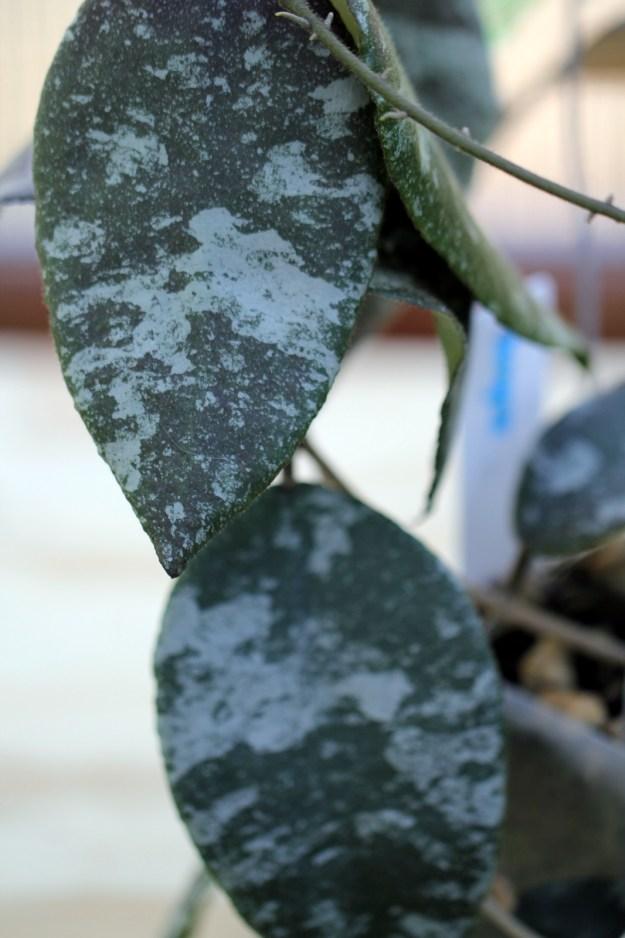 Hoya caudata Leaves - May 2013