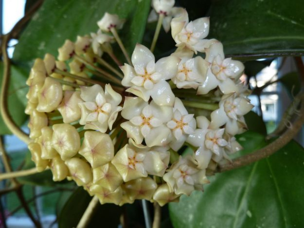 Hoya Latifolia IML 0088 Flowers Are Starting to Appear!