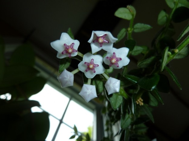 Hoya chinghungensis - Almost All Flowers Now Open!