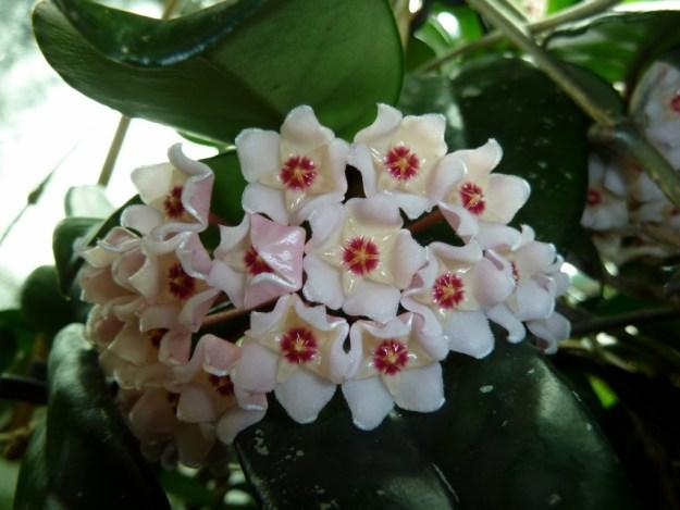 Hoya crassifolia Flowers Before They Are Fully Reflexed.