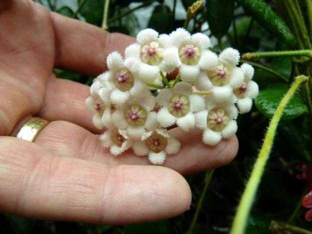Hoya rotundifolia Before the Flowers Are Fully Reflexed - August 2013