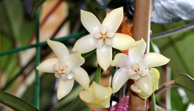 H. griffithii Will Drown You with its Fragrance! November 2013