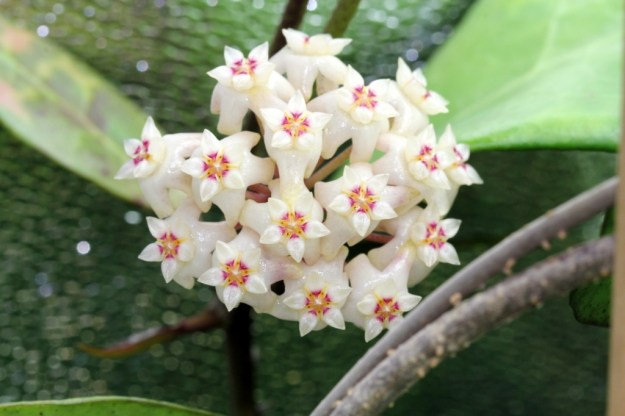Hoya ridleyi Flower Photo #1 - November 2013