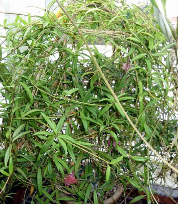 Hoya pauciflora foliage - December 2013