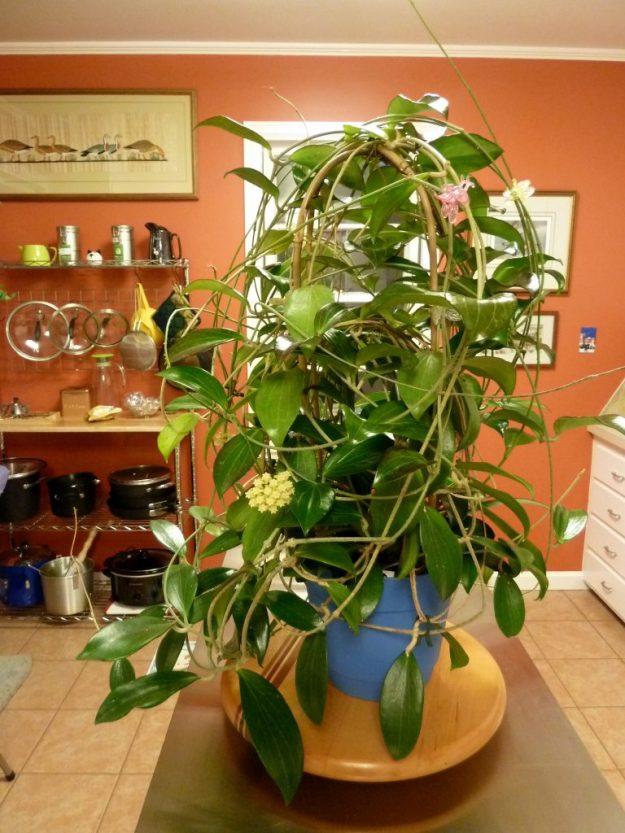 Hoya pottsii 'Coopers Creek' IML 0353 Showing Full Plant