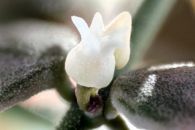 Dischidia nummularia variegata 4