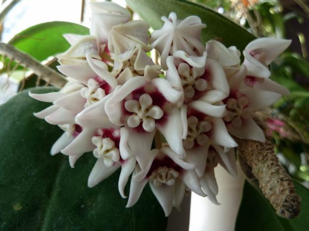 Hoya calycina 'Star Gazer' - Grab One if You Can Find It - March 2014