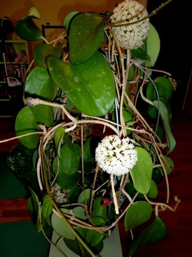 Hoya latifolia Showing Entire Plant May 2014