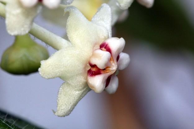 Hoya globulosa 071014g