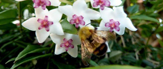 Bumblebee on Hoya bella