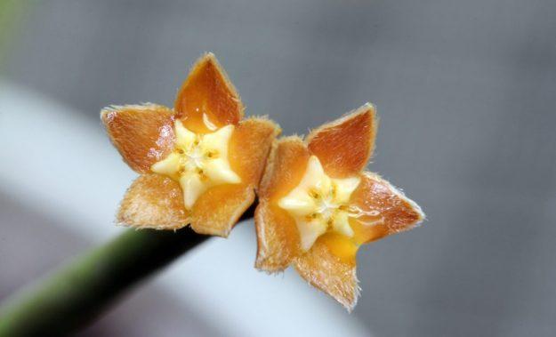 Hoya spartioides 080114b